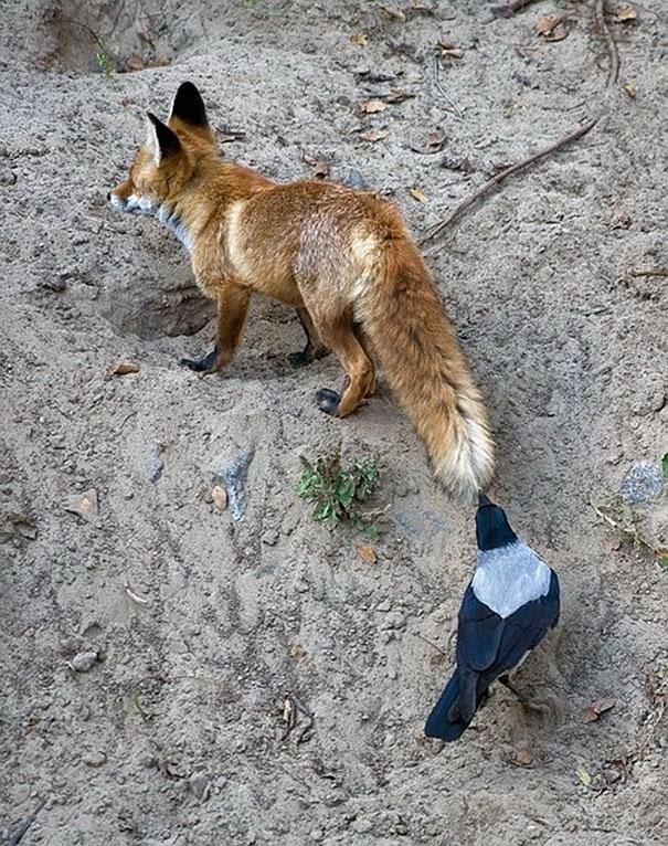 κοράκια κοράκι 40 φωτογραφίες που αποδεικνύουν ότι τα κοράκια είναι τα πιο κακά παιδιά του ζωικού βασιλείου
