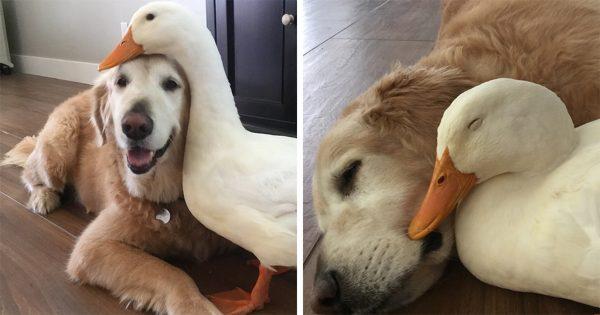Φιλία μεταξύ πάπιας και σκύλου μας δείχνει ότι τα ζώα δεν κάνουν διακρίσεις