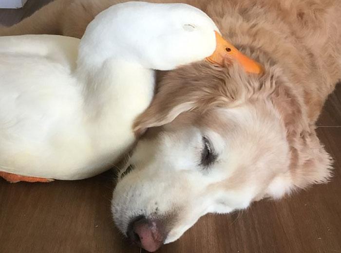 Φιλία μεταξύ πάπιας και σκύλου μας δείχνει ότι τα ζώα δεν κάνουν διακρίσεις Σκύλος σκύλοι πάπιες Πάπια