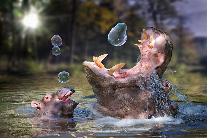 φωτογραφίες με μωρά ιπποπόταμους 40 φωτογραφίες με μωρά ιπποπόταμους που θα σας φτιάξουν αμέσως τη διάθεση