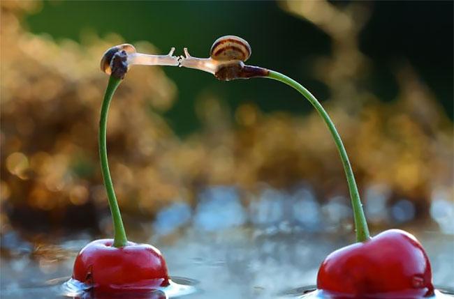 σαλιγκάρια σαλιγκάρι Ο φακός έπιασε δύο σαλιγκάρια καθισμένα πάνω σε κεράσια να φιλιούνται!