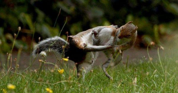 Φωτογράφος καταγράφει δύο σκίουρους που μοιάζουν λες και επιτίθενται ο ένας στον άλλον σαν νίντζα!