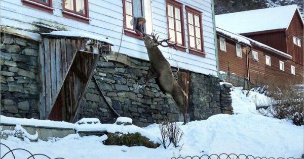 Ελάφι που διασώθηκε γίνεται σελέμπριτυ σε μια μικρή πόλη της Νορβηγίας