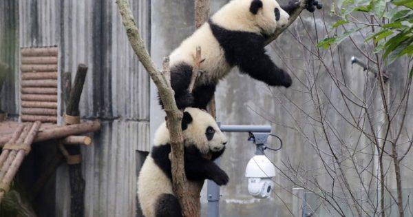 Δίδυμα πάντα 6 μηνών κάνουν το ντεμπούτο τους στον ζωολογικό κήπο της Chongqing