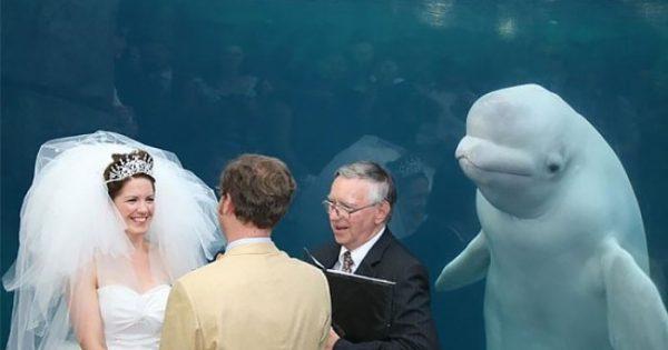 Ξεκαρδιστικές φωτογραφίες μιας φάλαινας μπελούγκα που έκανε photobomb κατά την διάρκεια ενός γάμου