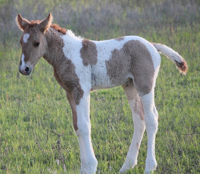 Τα αλογα με σγουρό τρίχωμα είναι τα πιο όμορφα πλάσματα στον κόσμο κι όμως ελάχιστοι γνωρίζουν την ύπαρξή τους άλογο άλογα με σγουρό τρίχωμα άλογα