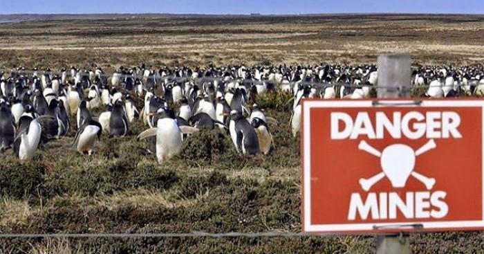 Πως ένα νησί γεμάτο νάρκες βοήθησε στην προστασία του πληθυσμού των πιγκουίνων πιγκουίνων πιγκουίνος Πιγκουίνοι