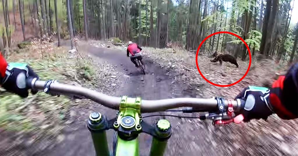 αρκούδες αρκούδα Αγριεμένη αρκούδα κυνηγάει ποδηλάτη και την καταγράφουν από την κάμερα του κράνους αγριεμένη αρκούδα