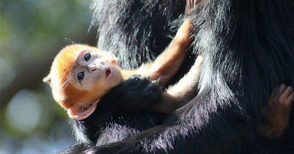 Γνωρίστε τον Nangua, ένα πολύ σπάνιο μαϊμουδάκι