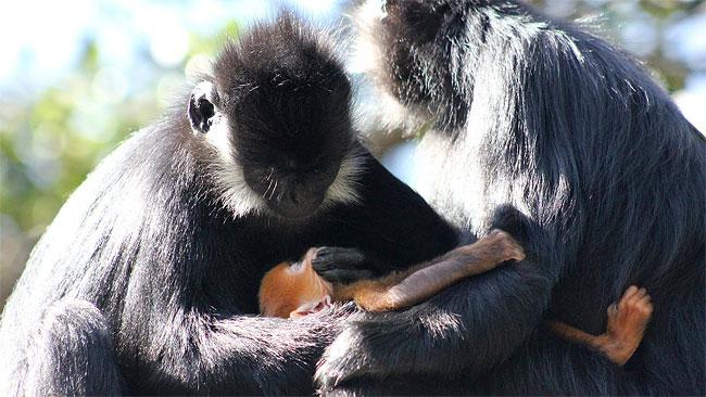 σπάνιο μαϊμουδάκι μαϊμούδες μαϊμουδάκι μαϊμού ένα πολύ σπάνιο μαϊμουδάκι Γνωρίστε τον Nangua