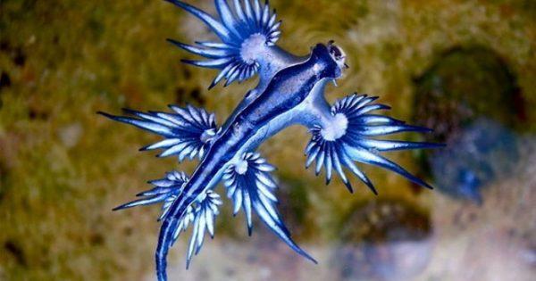 """Σπάνια εμφάνιση ενός """"μπλε δράκου"""" στις ακτές της Αυστραλίας"""