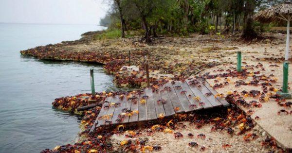 «Απόβαση» εκατομμυρίων καβουριών στον Κόλπο των Χοίρων στην Κούβα