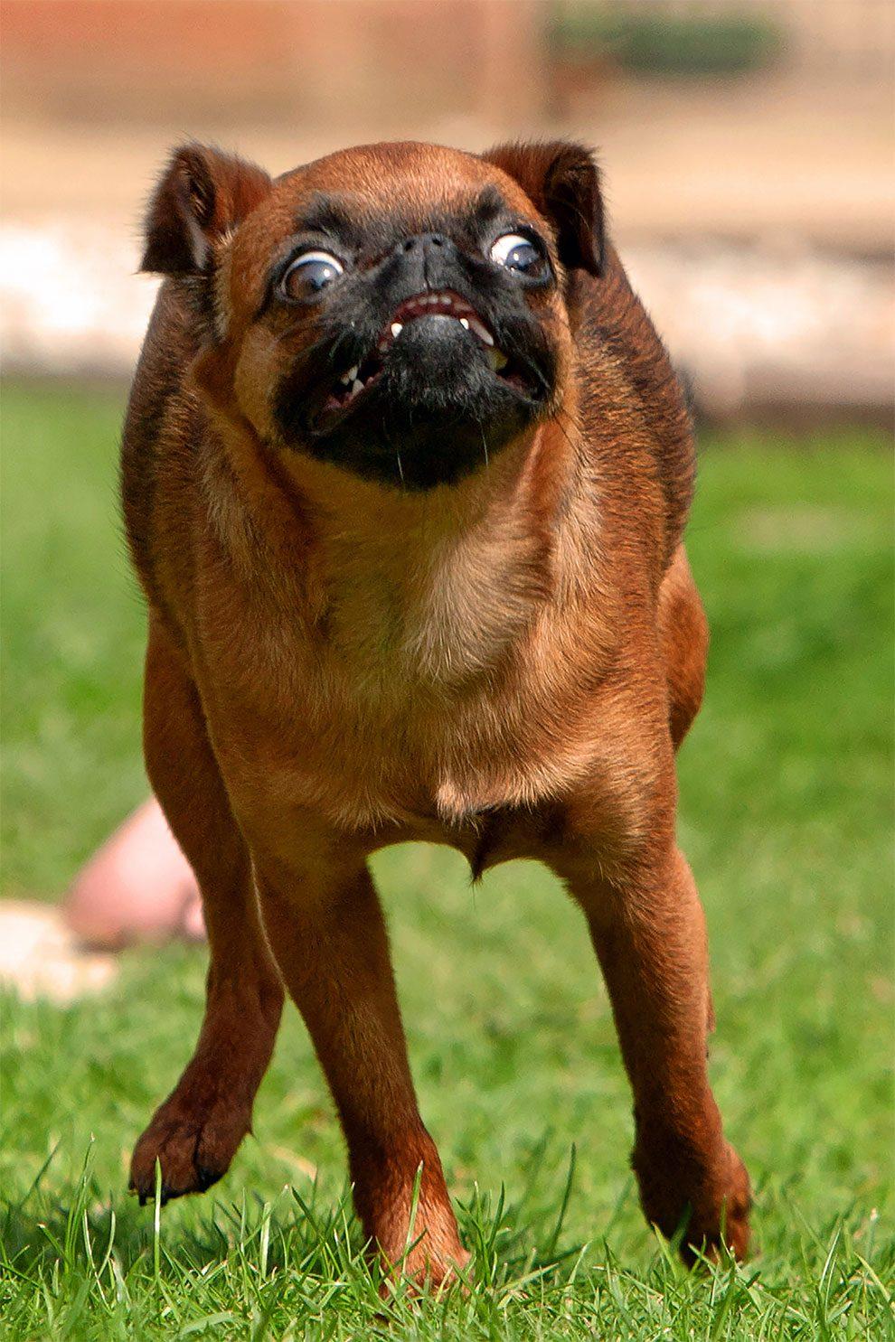 τρέξιμο Σκύλος