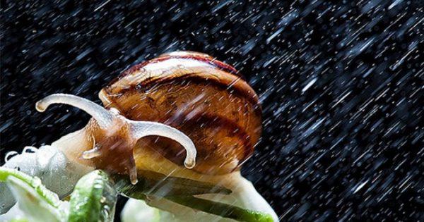 Εντυπωσιακές κοντινές φωτογραφίες σαλιγκαριών μετά από βροχή