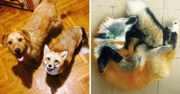 Αλεπού διασώζεται από εργοστάσιο γούνας την τελευταία στιγμή και γίνεται φίλη με έναν σκύλο