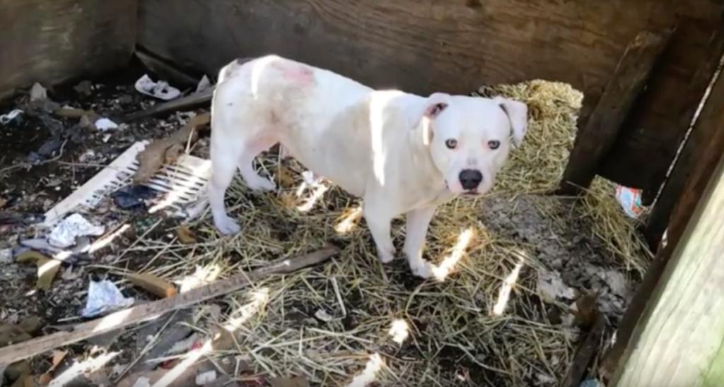 Συγκλονιστικό! Δεμένη και εγκαταλελειμμένη σκυλίτσα μάσησε το πόδι της μέχρι να το κόψει ώστε να ελευθερωθεί από τις αλυσίδες της σκυλίτσα μάσησε το πόδι της