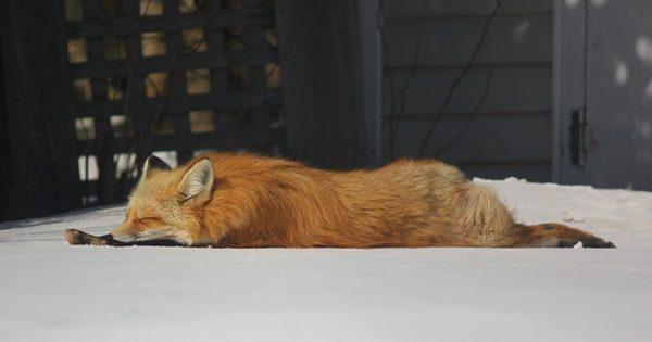 Γνωρίστε τον Zorro, την αλεπού που επισκέπτεται έναν φωτογράφο τους τελευταίους τρείς χειμώνες