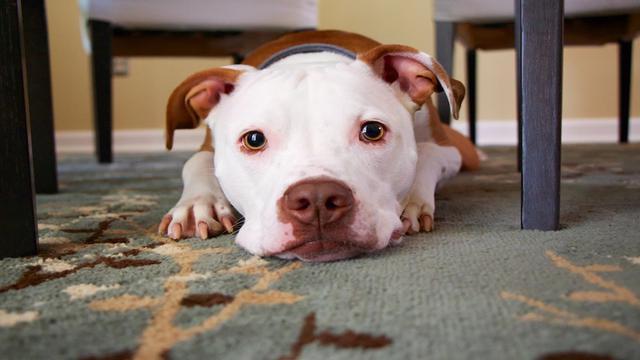 Σκύλος Καρδιολογική εξέταση