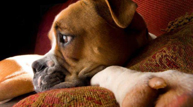 τι είναι ο ασκίτης σκύλος και ασκίτης Σκύλος ασκίτης