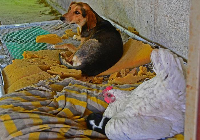 Σκύλος σκυλιά Ναύπλιο Κότα
