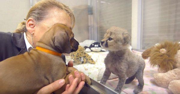 Κουτάβι και τσιτάχ συναντήθηκαν όταν ήταν μωρά. Δύο χρόνια μετά, δεν έχουν φύγει το ένα από το πλευρό του άλλου