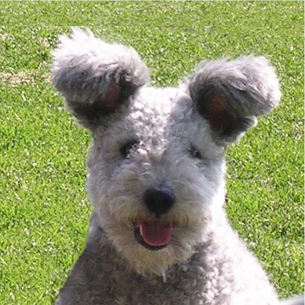 ράτσα σκύλων Pumi
