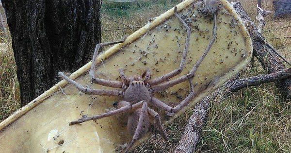 Έσωσαν μια αράχνη που έχει το μέγεθος ενός μικρού σκύλου