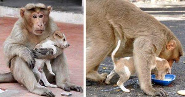 Μαϊμού υιοθετεί ορφανό και εγκαταλειμμένο κουταβάκι. Απλά δείτε πως το προστατεύει!