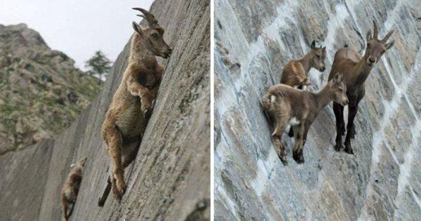 30 φωτογραφίες που αποδεικνύουν ότι τα κατσίκια είναι οι καλύτεροι ορειβάτες του κόσμου