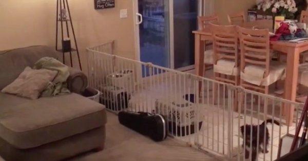 Έβαλε φράχτη στο σαλόνι της για να μην μπαίνουν μέσα τα σκυλιά της. Δείτε όμως ΤΙ σκέφτηκαν αυτά και θα πάθετε πλάκα!