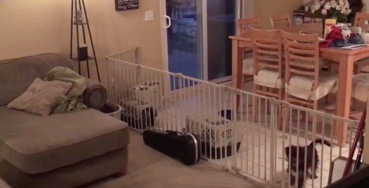 σκυλιά Έβαλε φράχτη στο σαλόνι της για να μην μπαίνουν μέσα τα σκυλιά της. Δείτε όμως ΤΙ σκέφτηκαν αυτά και θα πάθετε πλάκα!