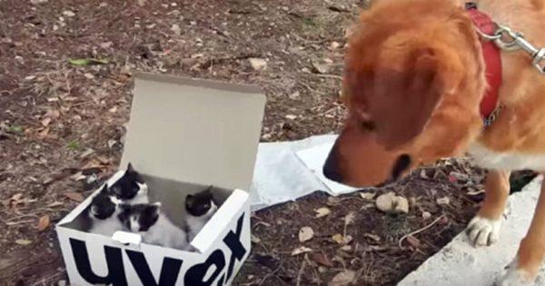Σκύλος βρήκε ένα κουτί με παρατημένα γατάκια. Η αντίδρασή του; Θα σας φτιάξει τη μέρα!
