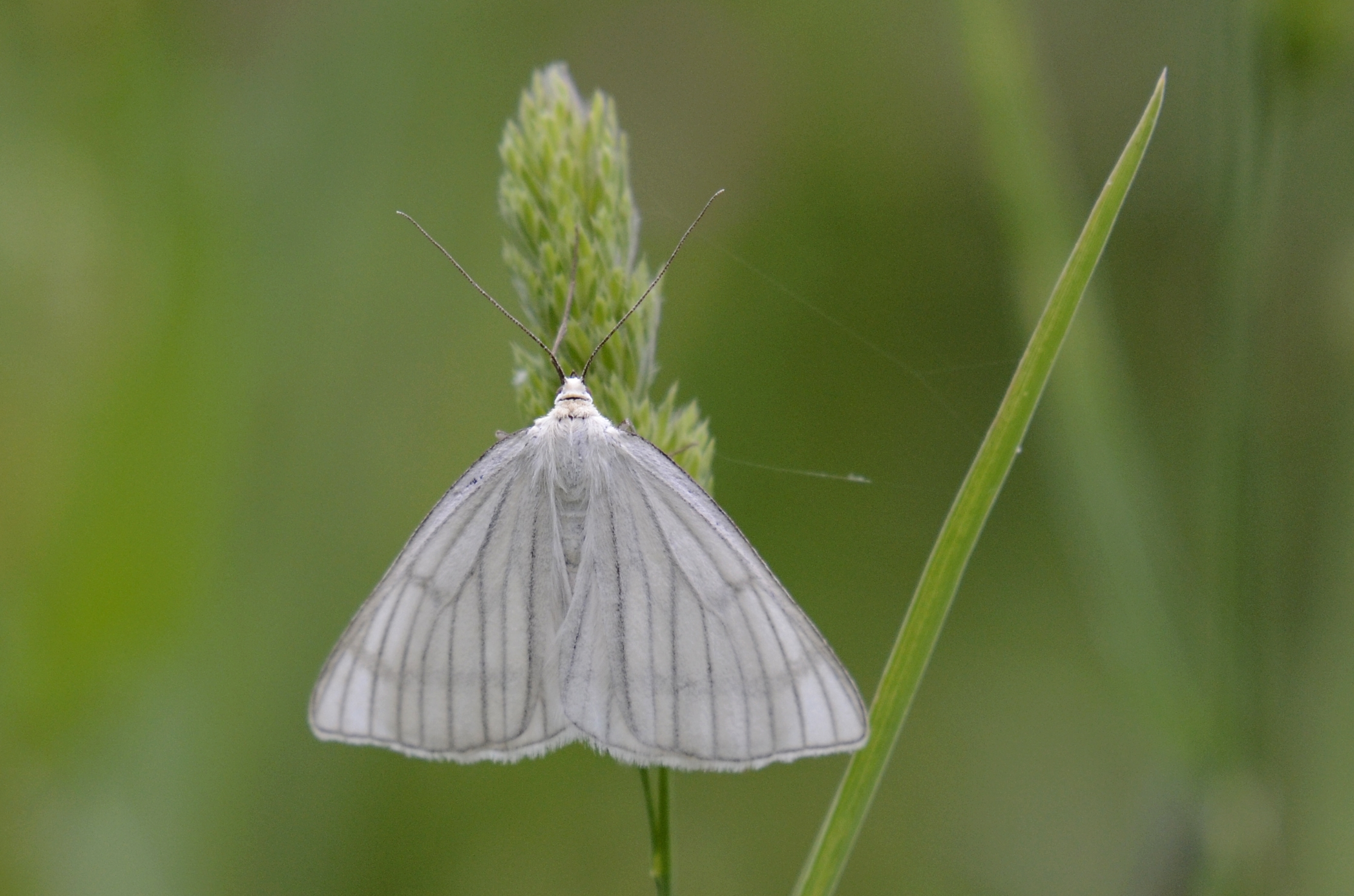 πεταλούδες πεταλούδα