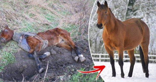 Η μεταμόρφωση αυτού του αλόγου που βρέθηκε εγκαταλελειμμένο και σκελετωμένο έχει προκαλέσει δέος σε όλο τον πλανήτη