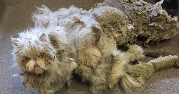 Το τρίχωμα αυτής της γάτας είχε γίνει τόσο πυκνό που δε μπορούσε ούτε να περπατήσει. Όταν την κούρεψαν; Θα μείνετε άφωνοι!