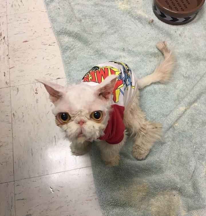 τρίχωμα Το τρίχωμα αυτής της γάτας είχε γίνει τόσο πυκνό που δε μπορούσε ούτε να περπατήσει. Όταν την κούρεψαν; Θα μείνετε άφωνοι! γάτας Γάτα