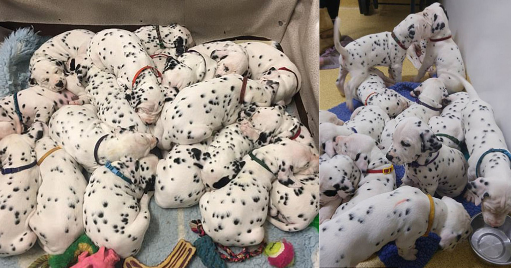 σκυλάκια δαλματίας Ρεκόρ κουτάβια κουτάβι 18 κουτάβια