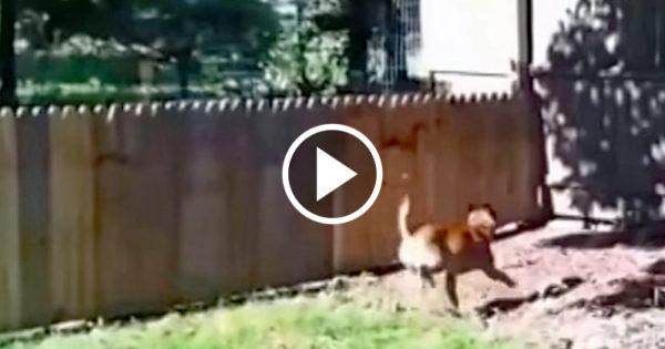 Έχτισε ένα φράχτη γύρω από την αυλή του για να μη βγαίνει ο σκύλος του στο δρόμο. Δείτε όμως ΤΙ κάνει ο σκύλος.. Απίστευτο!