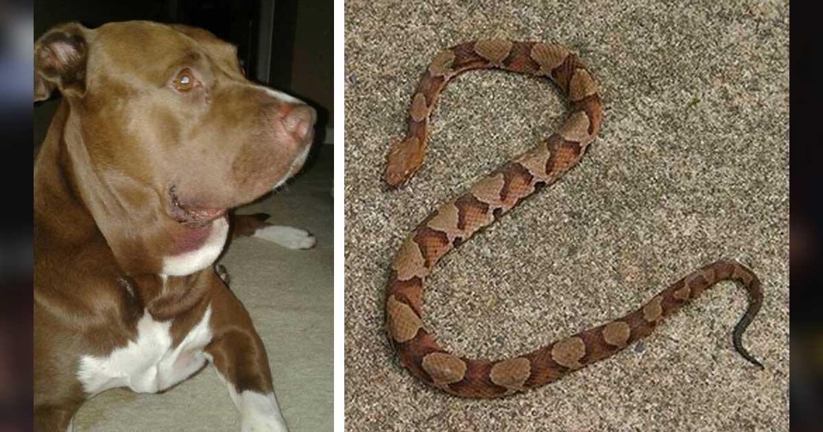 φίδι Σκύλος σκύλοι Pitbull