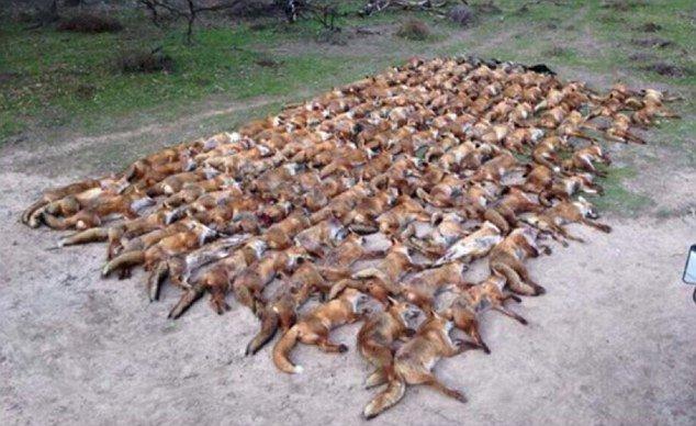 Αλεπούδες αλεπού