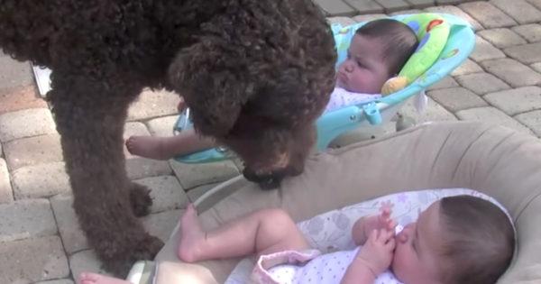Γιγάντιος σκύλος αντικρίζει για πρώτη φορά 2 δίδυμα κοριτσάκια. Η αντίδρασή του; Θα σας φτιάξει τη μέρα!