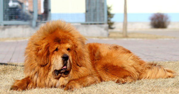 Οι πέντε ακριβότερες ράτσες του κόσμου. Σκυλιά που κοστίζουν από 850 έως 9.000 ευρώ. Γιατί ανεβαίνει η τιμή τους