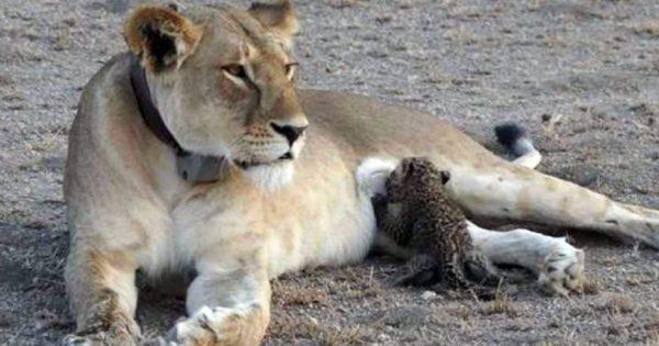 Λέαινα θηλάζει νεογέννητες λεοπαρδάλεις και οι φωτογραφίες που τραβήχτηκαν είναι εντυπωσιακές