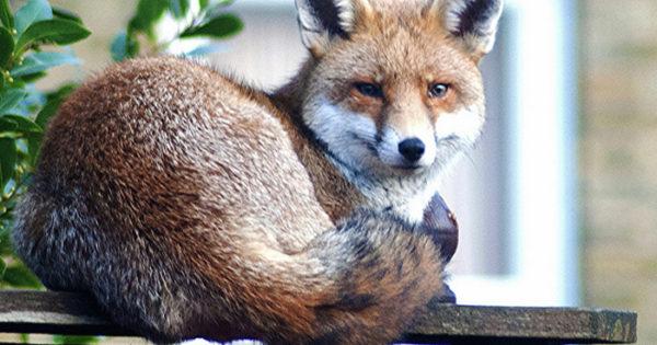 Αλεπού, το νέο κατοικίδιο του Λονδίνου