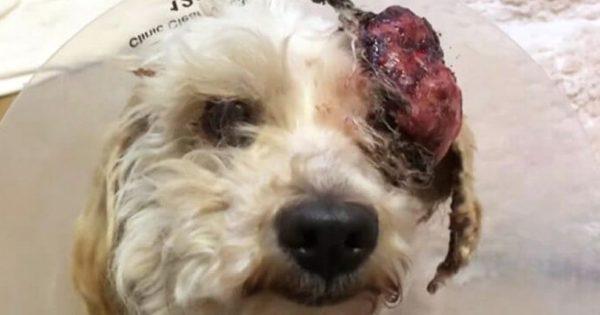 Ο κτηνίατρος ήταν έτοιμος να της κάνει ευθανασία λόγω του τεράστιου όγκου στο κεφάλι της! Δείτε την σήμερα και δεν θα πιστεύετε στα μάτια σας