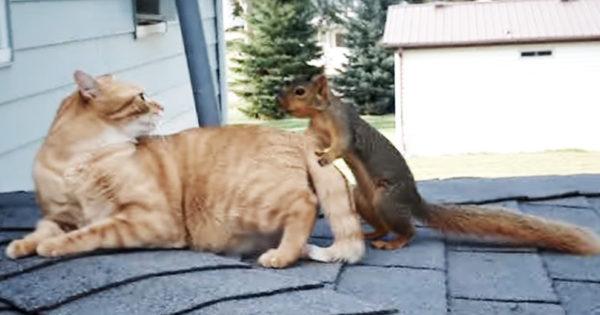 Σκίουρος πλησιάζει τη γάτα από πίσω και της πιάνει την ουρά. Απλά δείτε την αντίδρασή της και δεν θα πιστεύετε στα μάτια σας!