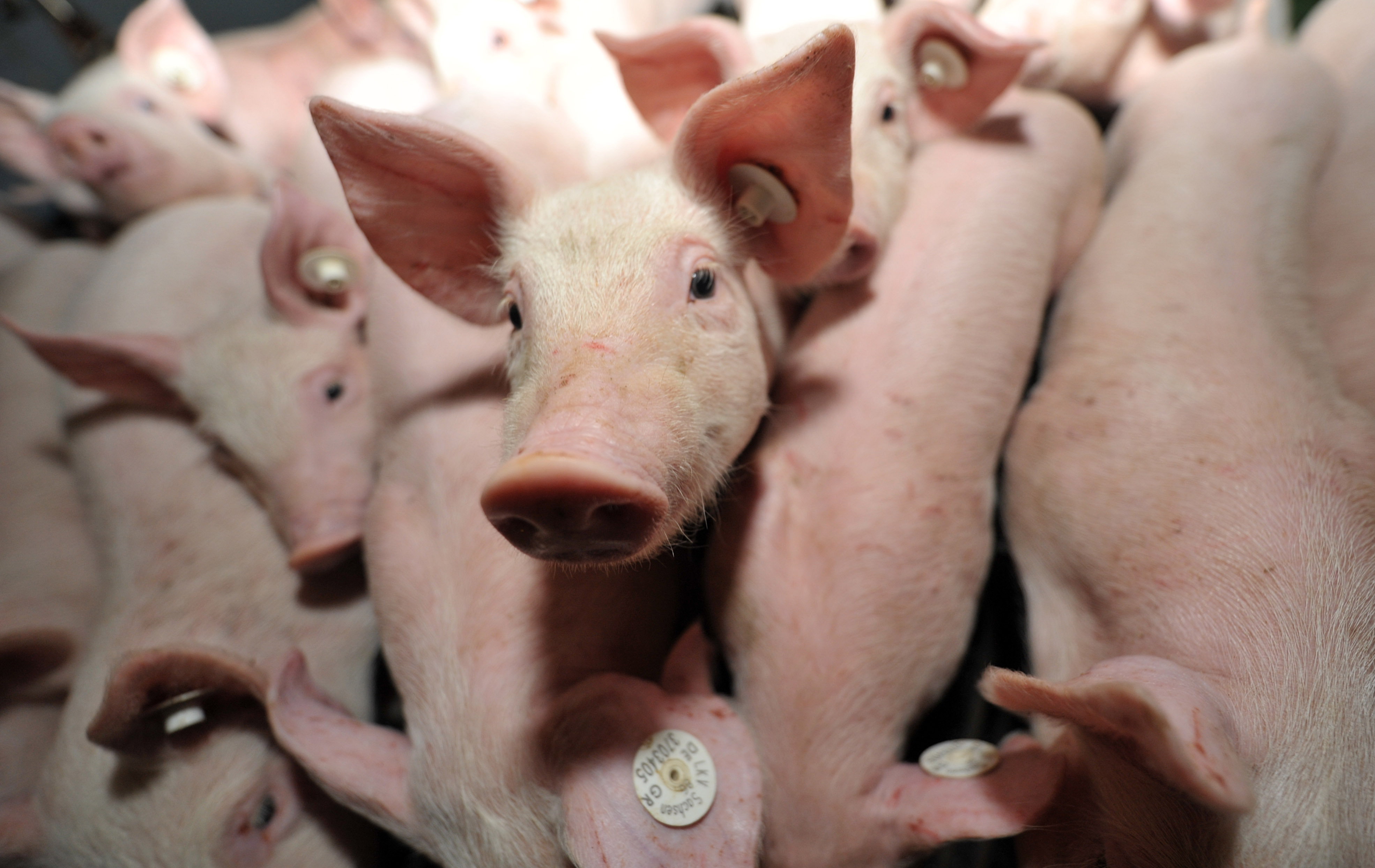 χοίρος χοιρινό λουκάνικα γουρούνι γουρουνάκια