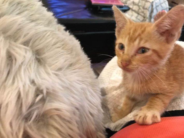 μικροσκοπικό πλάσμα γάτες Γάτα