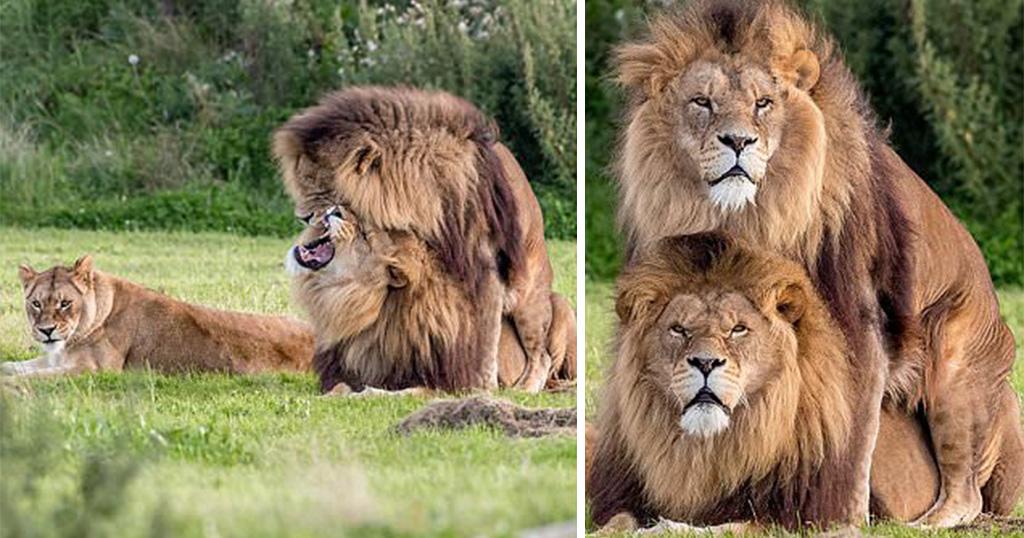 λιοντάρια λιοντάρι λέαινα