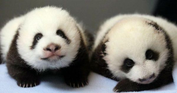 Δείτε πως μεγαλώνουν αυτά τα αξιολάτρευτα δίδυμα panda (video)